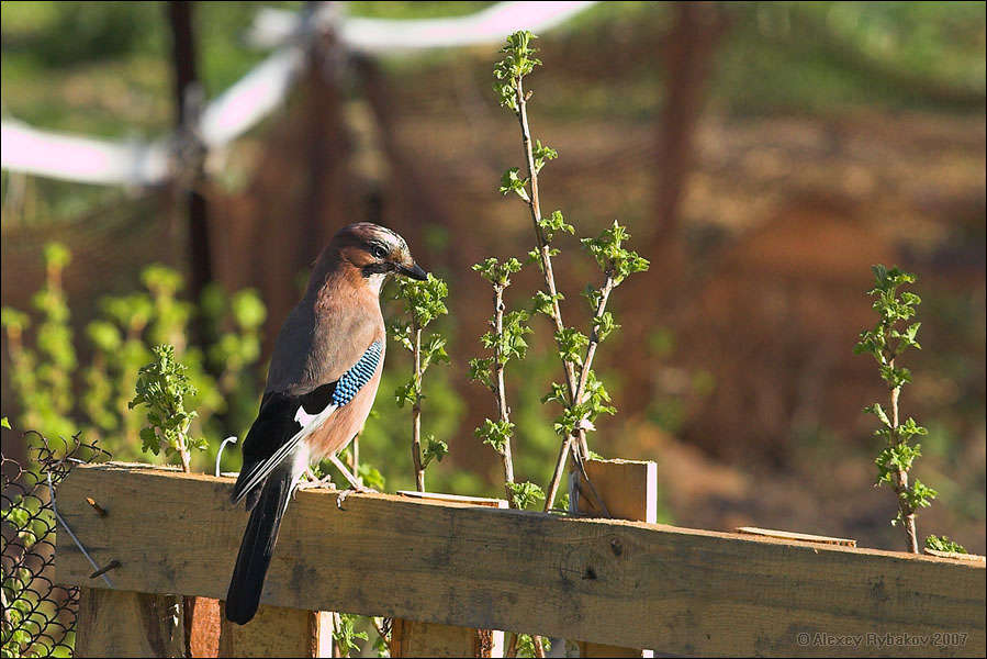 Jay on a fence